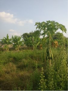 Tropical trees with huge fruits hanging