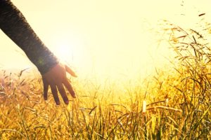 hand reaching for golden grass at sunset