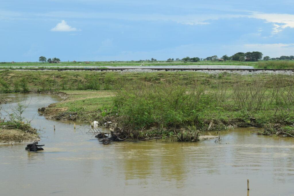 water buffalo in Myanmar